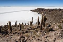 Trichoreceus Cactus on Isla Incahuasi Isla del Pescado in the middle of the world`s biggest salt plain Salar de Uyuni, Bolivia Stock Photos