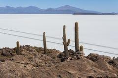 Trichoreceus Cactus on Isla Incahuasi Isla del Pescado in the middle of the world`s biggest salt plain Salar de Uyuni, Bolivia Stock Photography