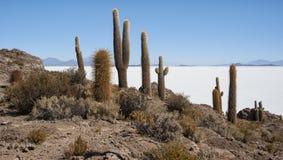 Trichoreceus Cactus on Isla Incahuasi Isla del Pescado in the middle of the world`s biggest salt plain Salar de Uyuni, Bolivia Stock Images