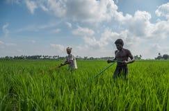 Trichy,Tamilnadu,印度- 2018年11月4日:工作在他们的稻田的两位农夫在一清楚的好日子 图库摄影
