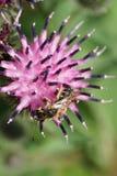 Tricin rayado caucásico gris-negro y mullido macro de Melitta de la abeja Fotografía de archivo libre de regalías
