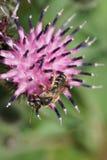 Tricincta rayado gris-negro caucásico de Melitta de la abeja del primer con Fotos de archivo libres de regalías