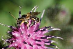 Tricincta rayado gris-negro caucásico macro de Melitta de la abeja con lo Imagen de archivo