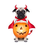 Trick or treat dog. Halloween devil pug dog with trick or treat bowl, isolated on white background Royalty Free Stock Photos