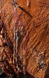 Trickles of hardened resin flowed at larch transverse saw cut. Royalty Free Stock Photo