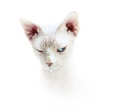 Tricky fase sphinx cat Royalty Free Stock Photography