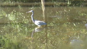 Trico. Lored heron in the Florida Everglades stock video
