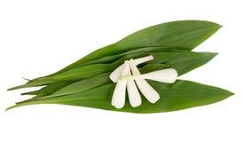 Tricoccum dell'allium dell'aglio selvaggio sopra fondo bianco Immagini Stock
