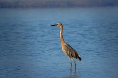 Tricoled heron fishing in the sea in Florida, USA. Tricoled heron fishing in the sea in Florida Stock Image