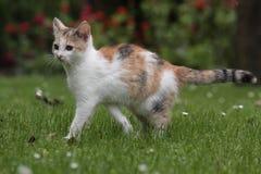 tricolered kattunge Royaltyfria Bilder