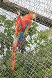 Tricolor ара на решетке Стоковое фото RF
