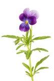 Tricolor Виолы/pansy изолированное на белой предпосылке Стоковая Фотография RF