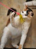 Tricolor играть кота Стоковые Фото
