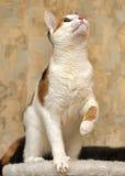 Tricolor играть кота Стоковое Изображение RF