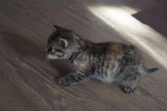 Tricolor котенок с голубыми глазами идет на пол Стоковое Изображение