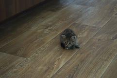 Tricolor котенок с голубыми глазами идет на пол Стоковые Фотографии RF