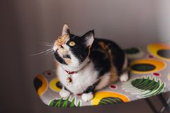 Tricolor кот все в внимании Стоковая Фотография RF