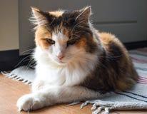 Tricolor кот ослабляя на половике на поле стоковое изображение rf