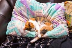 Tricolor кот спать на своей подушке владельца стоковые фото