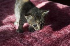 Tricolor маленький котенок с голубыми глазами идет на розовое покрывало Стоковые Фотографии RF