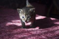 Tricolor маленький котенок с голубыми глазами идет на розовое покрывало Стоковая Фотография RF
