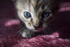 Tricolor маленький котенок с голубыми глазами идет на розовое покрывало Стоковое фото RF