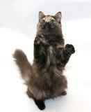 Tricolor пушистая игра кота, стоя на задних ногах Стоковые Фото