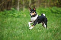 Tricolor собака basenji бежать outdoors Стоковое Изображение