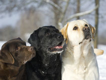 3 colours dogs labrador heads  Royalty Free Stock Images