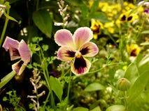 Tricolor altfiol, Pansiesblomma Arkivbilder