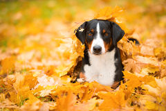 Tricolor Appenzeller Mountain Dog lying on maple leaves Stock Photography