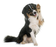 Tricolor australian shepherd. In front of white background Stock Photography