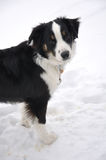 Tricolor Australian Shepherd on the Snow. During the Winter Stock Image