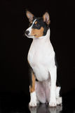 Tricolor basenji dog on black Royalty Free Stock Photo