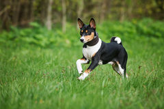 Tricolor basenji pies biega outdoors Obraz Stock
