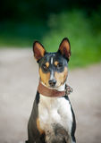 Tricolor basenji portrait in summer Royalty Free Stock Image