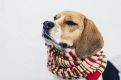 Tricolor beagle dog in colorful scarf with eyes closed Royalty Free Stock Images