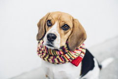 Tricolor beagle dog in colorful scarf looking into camera Stock Photography