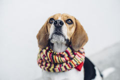 Tricolor beagle dog in colorful scarf looking up Stock Images