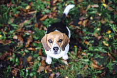 Tricolor beagle dog sitting on fallen leaves looking up. Tricolor beagle dog sitting on the ground covered in fallen leaves looking up royalty free stock image