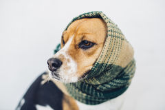 Tricolor beagle dog with striped scarf wrapped around head and neck Stock Images