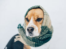 Tricolor beagle dog with striped scarf wrapped around head and neck Stock Image
