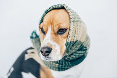 Tricolor beagle dog with striped scarf wrapped around head and neck Royalty Free Stock Photos