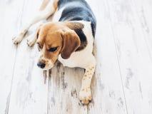 Tricolor beagle psa lying on the beach na drewnianej podłoga Fotografia Royalty Free