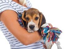 Tricolor beagle puppy royalty free stock photos