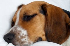 Tricolor beagle puppy sleeping Stock Images