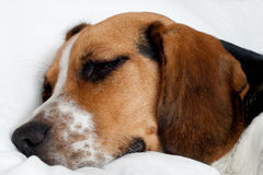 Tricolor beagle puppy sleeping Royalty Free Stock Photos