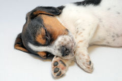 Tricolor beagle puppy sleeping Royalty Free Stock Images