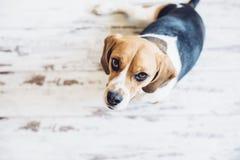 Tricolor beaglehund som sitter och ser upp in i kamera Royaltyfri Fotografi