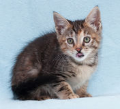 Tricolor beautiful kitten licked sitting Royalty Free Stock Photography